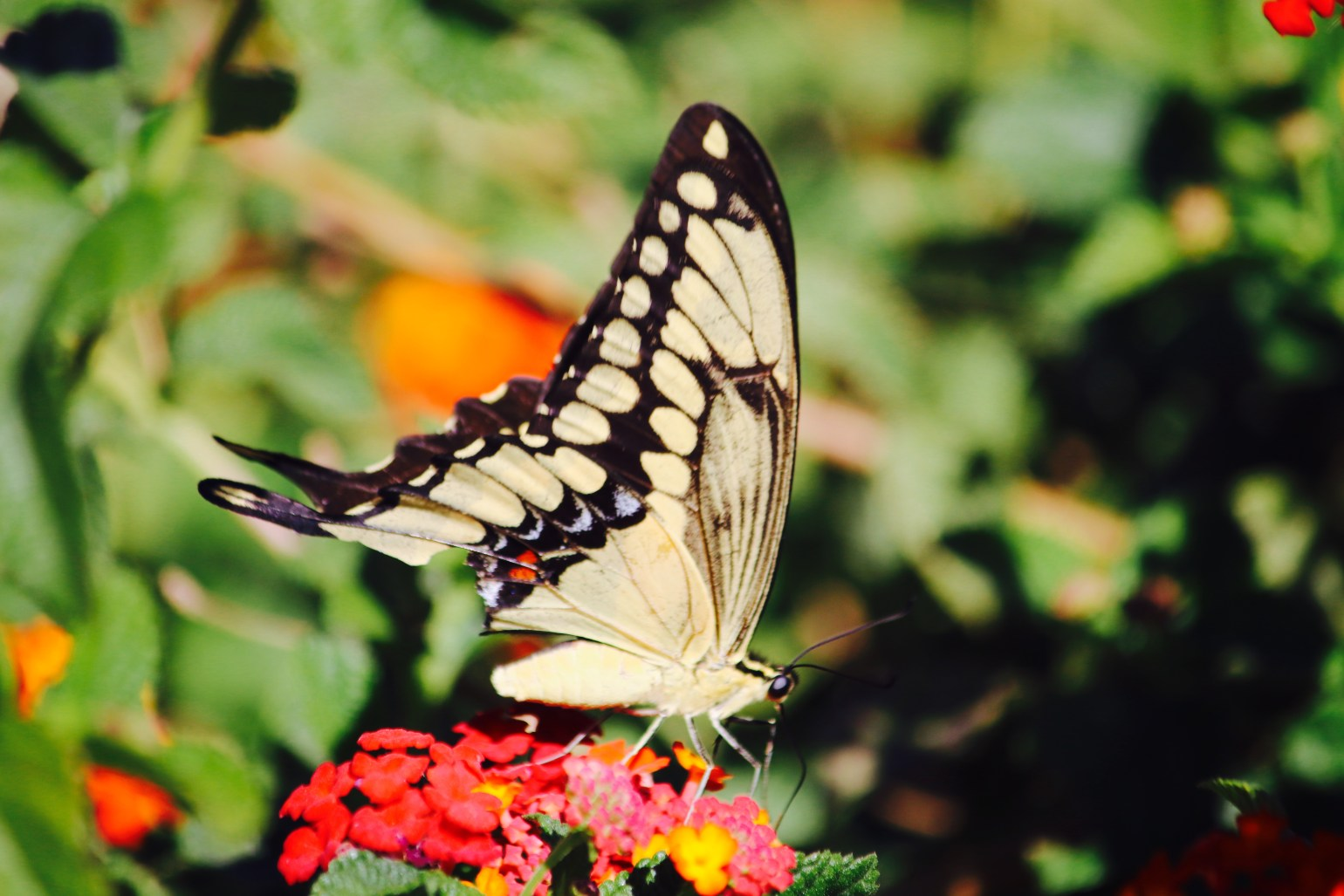 Butterfly-Close - 1 (1)
