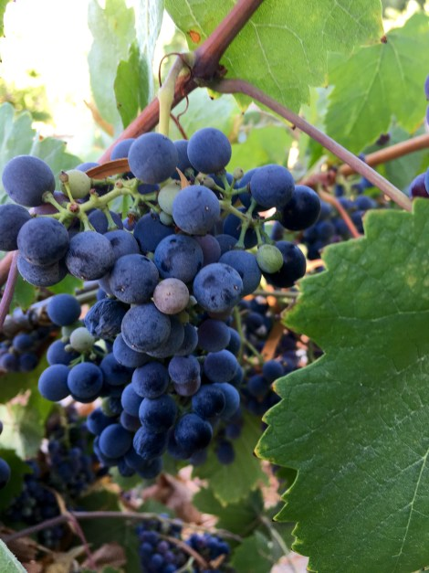 Grapes - 1