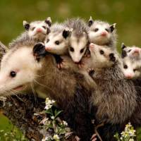 Where Do Possums Live? – Possum Habitat