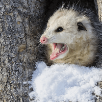 What Eats Possums? – Opossum Predators