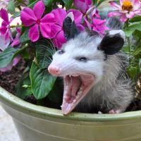Do Possums Carry Rabies? - Rabies and Opossums