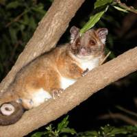 Are Possums Nocturnal? Is a Possum Nocturnal?