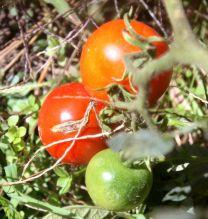 Tomaten im Garten. Im Oktober.