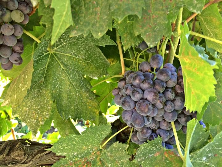 uvas-vinho-itália