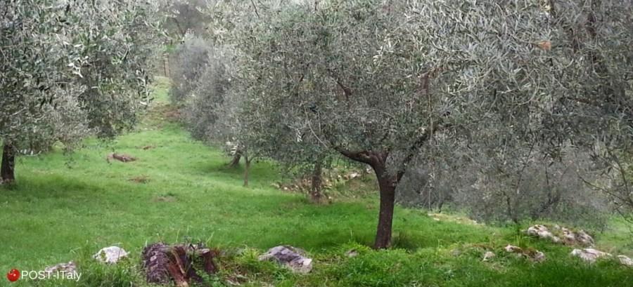 colheita de azeitonas, Itália