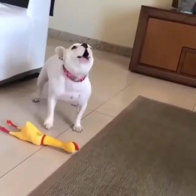 Cachorrinho Imitando Som Da Galinha De Brinquedo, Olha Só Que Engraçadinho!!!