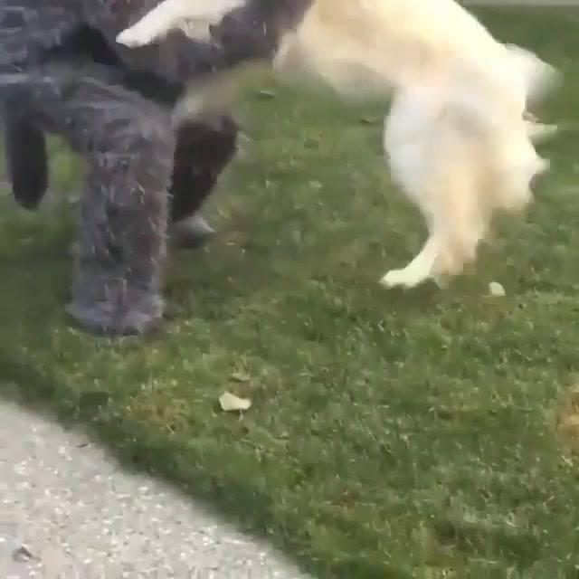 Dono Se Veste De Lobo Para Seu Cachorro, Veja A Reação Dele!!!