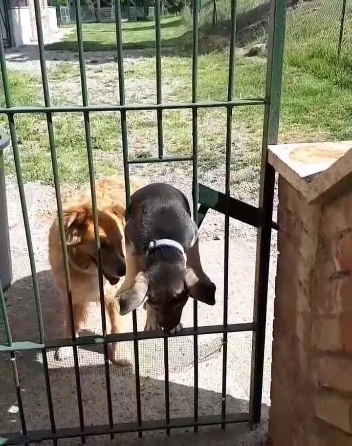 Filhote De Cachorro De 3 Meses Consegue Pular No Buraco Do Portão!!!