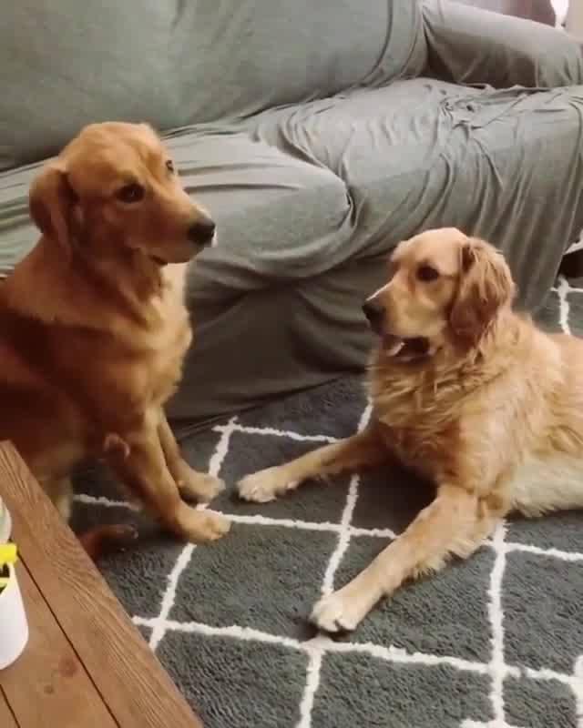 Golden Retriever Chamando Seu Irmão Pra Brincar, Veja Que Reação Engraçada!
