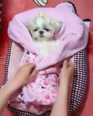 Cachorrinha Fica Quietinha Para Ser Colocada Para Dormir, Que Fofura!
