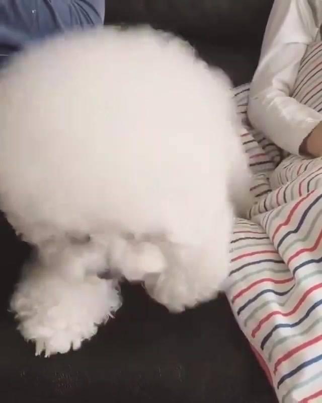 Cachorrinho Ou Algodão? Cachorrinho, O Mais Fofinho Que Você Vai Ver Hoje!!!