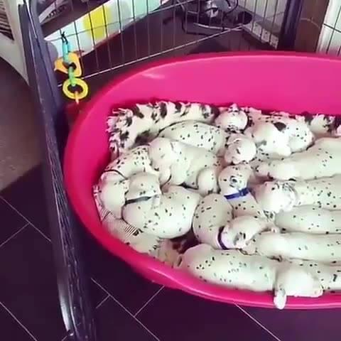 Cachorrinhos Da Raça Dálmatas Dormindo Um Coladinho No Outro, Confira!