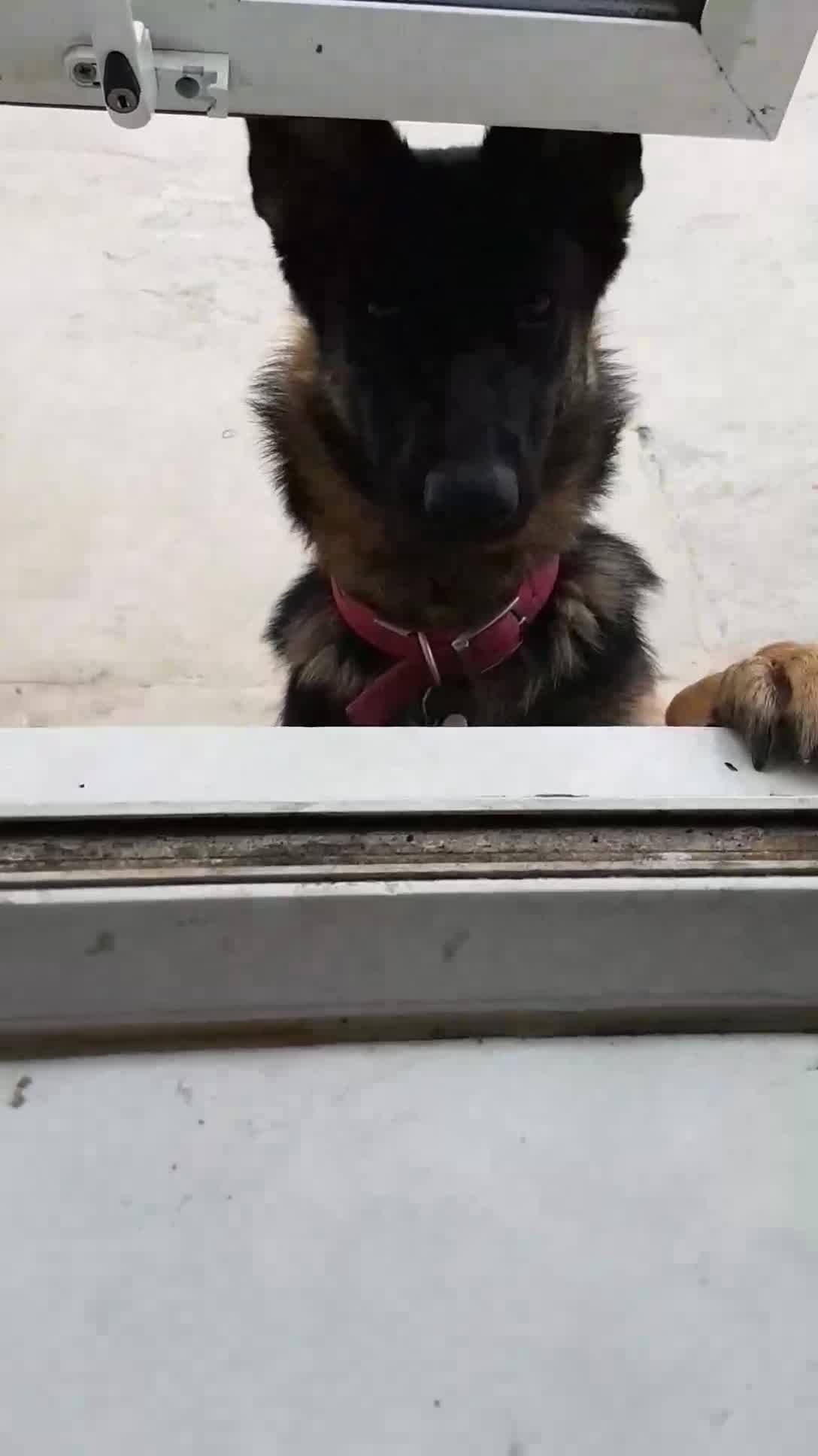 Cachorro Abrindo Janela, Ele É Esperto E Inteligente, Confira!