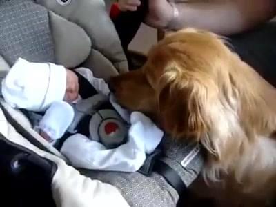 Cachorro Recebendo O Bebê