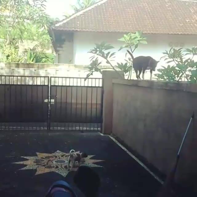 Cachorro Sobe Muro Igual Gato, Olha Só Que Habilidade Deste Amiguinho!!
