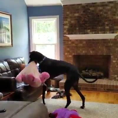 Cão Indo Deitar Na Sala!