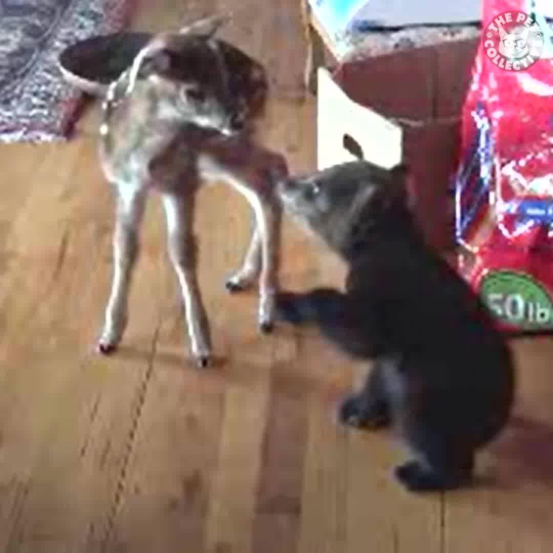 Vídeo Com Cervos Se Comunicando Com Humanos, Olha Só Que Engraçado!!!