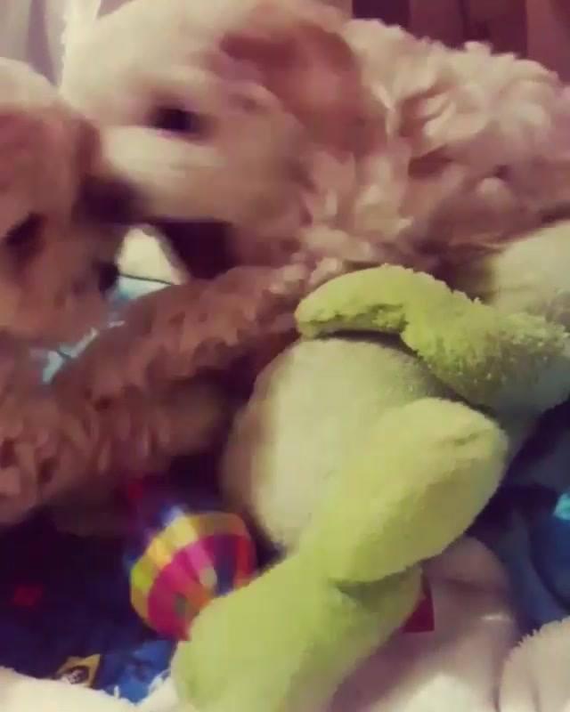 Dois Cachorrinhos Fofos Brincando Com Bolinha Em Cima Da Cama!!!