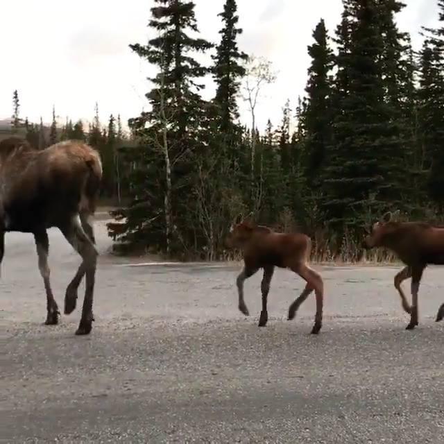 Alce Atravessando Estrada Com Seus Filhotes, O Mundo Animal É Magnifico!!!