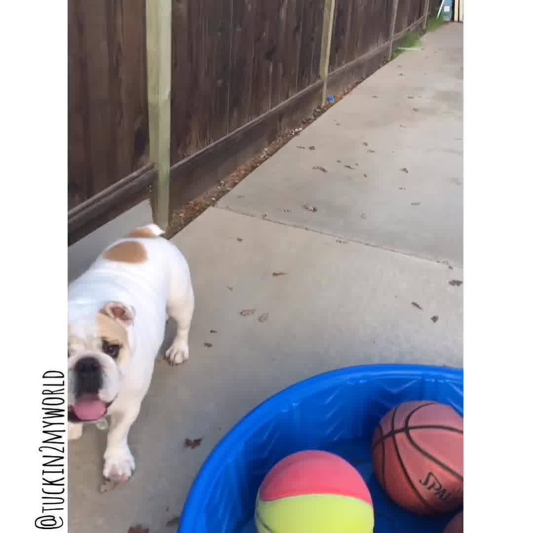 Buldogue Brincando De Bater Bola, Veja Como Ele É Esperto E Adora Brincar!!!