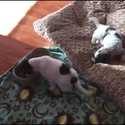 Cachorrinho Fica Tão Feliz Com A Comida Que Se Alimenta Dançando!