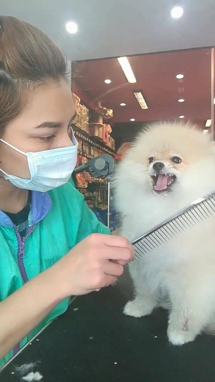 Cachorrinho Pequeno Mais Super Bravo, Não Quer Ser Penteado!!!