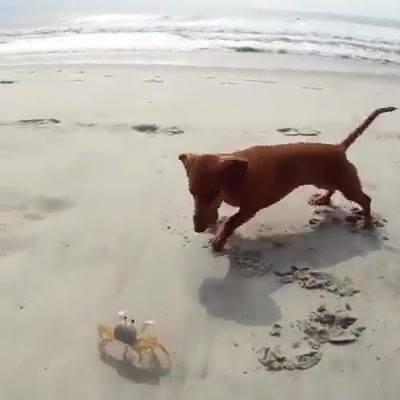 Cachorro Brincando