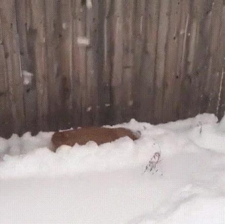 Cachorro Brincando Na Neve, Olha Só Como Ele Gostou De Mergulhar Nela!!!