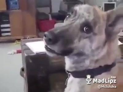 Cachorro Com Dublagem