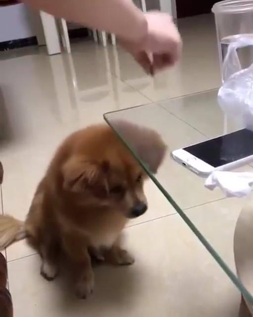 Cachorro Não Entende Que Tem Uma Mesa De Vidro Entre O Petisco E O Chão!