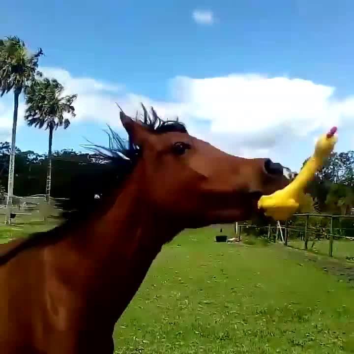 Cavalo Acha Uma Galinha De Plástico Que Faz Barulho E Se Diverte Com Ela Hahaha!