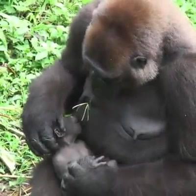 Chipanzé Amamentando Seu Filhote, Veja A Delicadeza Desta Mamãe!!!