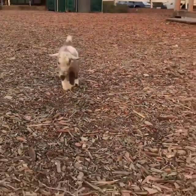 Filhote De Cabra, Olha Só Que Animalzinho Mais Lindinho Gente!!!