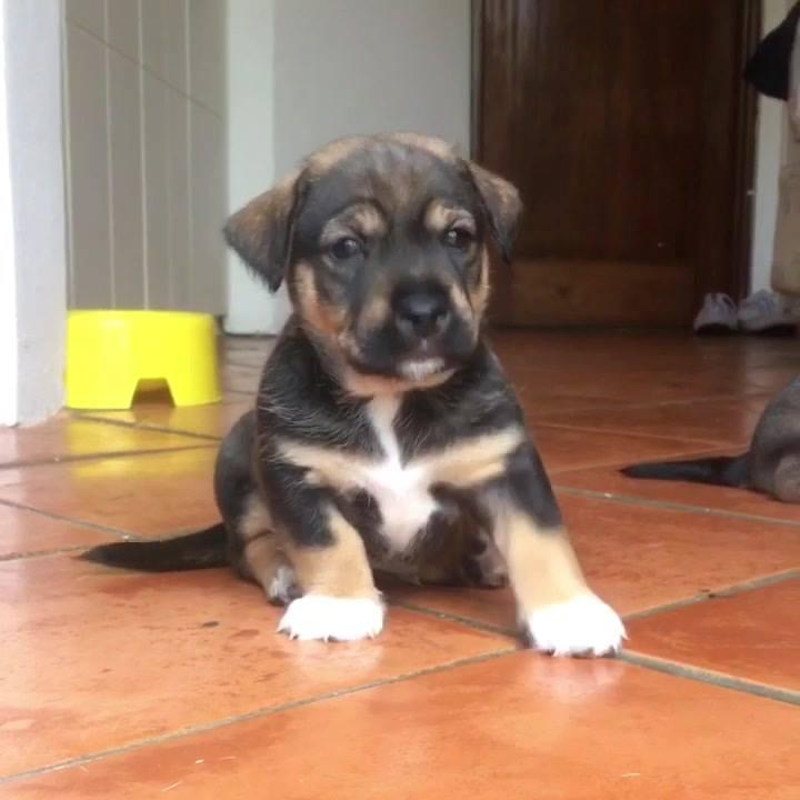 Filhotinho De Cachorro De Dois Meses Fazendo Gracinha, Tem Como Não Amar?