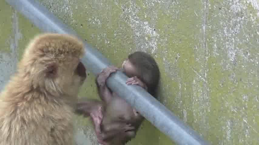 Filhotinho De Macaco Fica Preso Pela Cabeça, E Sua Mamães Salva-O!!!