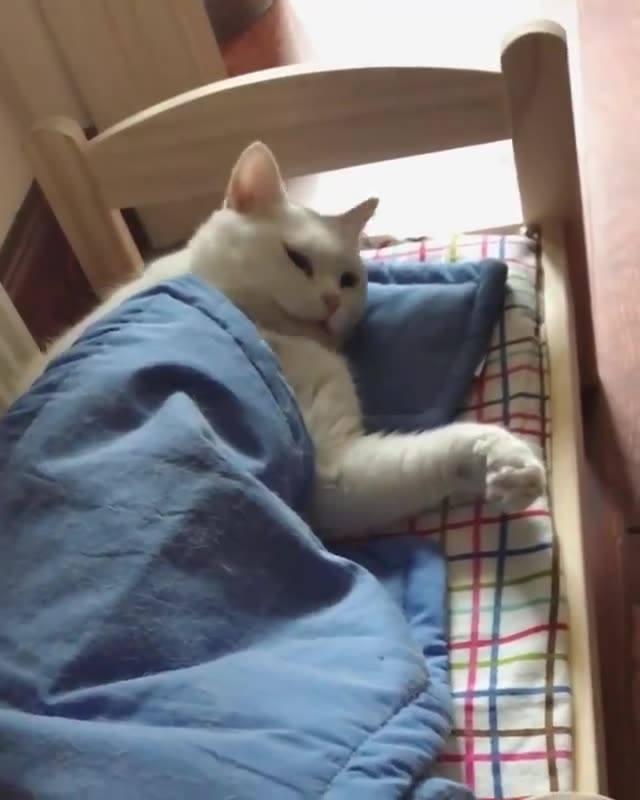 Gatinho Deitado Em Caminha Com Travesseiro E Cobertinha Não Quer Levantar!!!