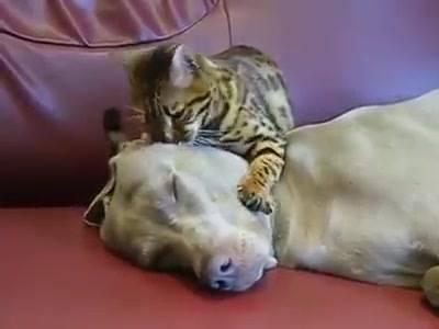 Massagem Em Cachorro
