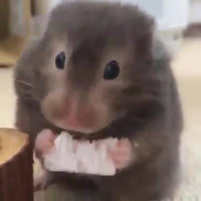 Rato Comendo Biscoito