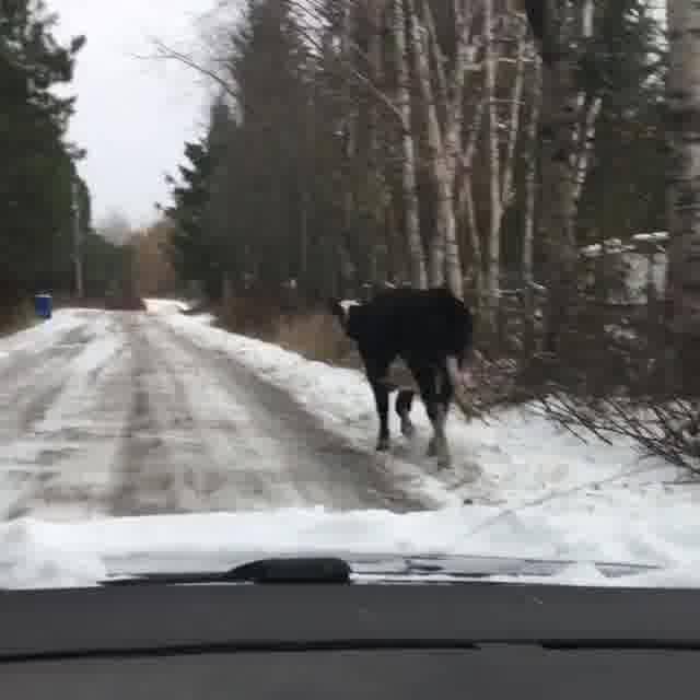 Vaca Tentando Achar Comida Na Neve, Ela Vai Bem Sossegada Hahaha!