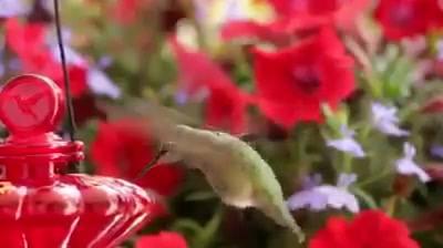 Beija-Flor Tomando Água