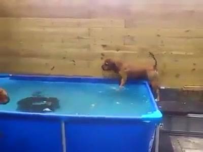 Boxer Tirando Pneu  Da Piscina