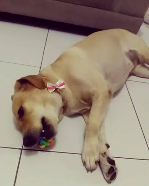 Cachorrinha Com Preguiça De Brincar, Olha Só A Animação Dela, Hahaha!!!