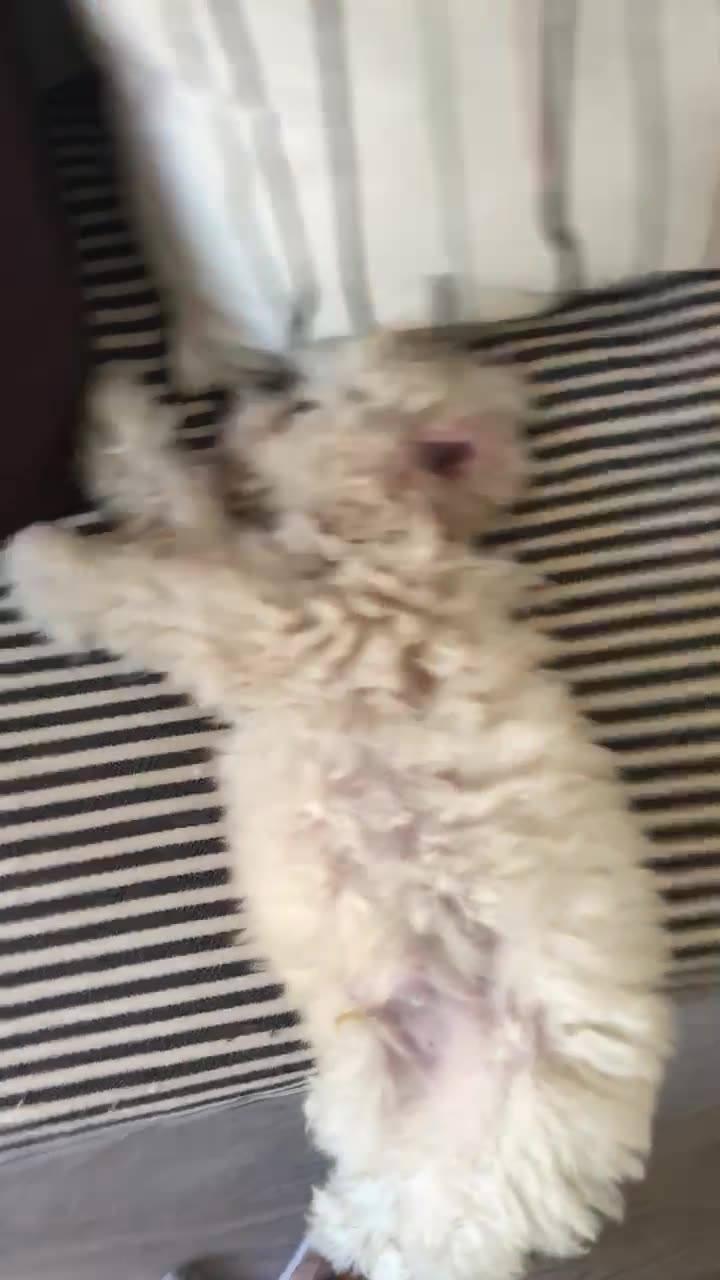 """Cachorrinho """"Desmaiado"""" No Sofá, Veja Como Ele Esta Dormindo Hahaha!"""