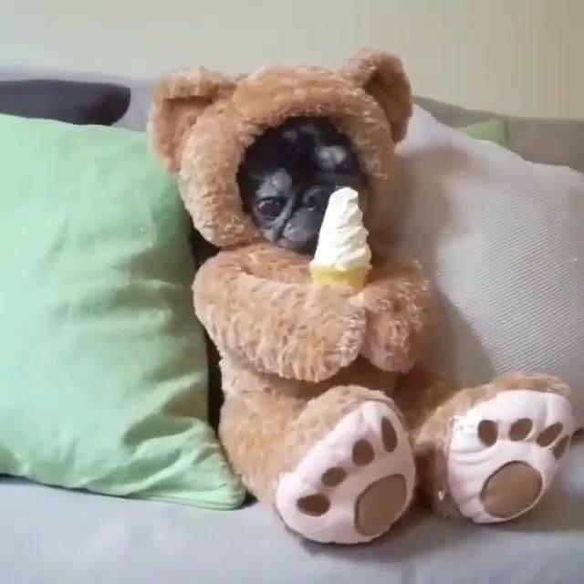 Cachorrinho Com Fantasia De Ursinho Tomando Sorvete, Que Engraçadinho!!!