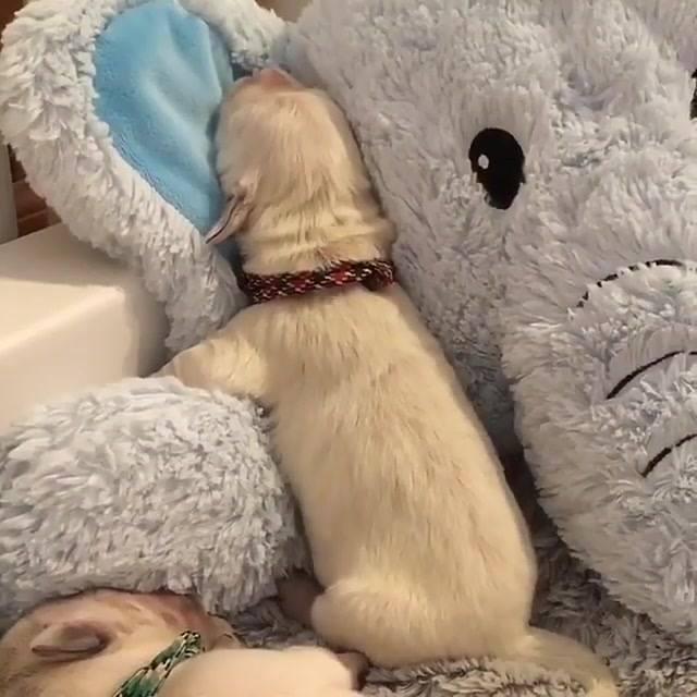 Cachorrinhos Dormindo Em Seu Enorme Elefante De Pelúcia, Olha Só Que Fofo!!!