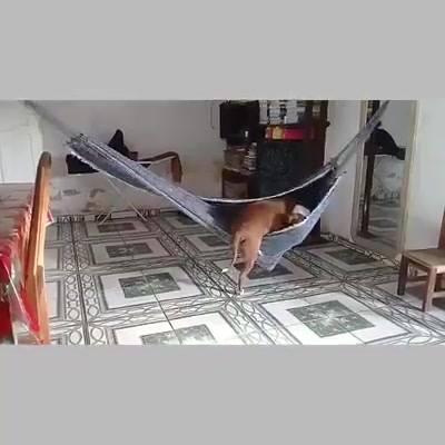 Cachorro Deita Na Rede