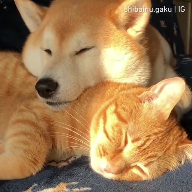 Cachorro Dormindo Com Cabeça Em Cima Do Gato, Que Fofura!