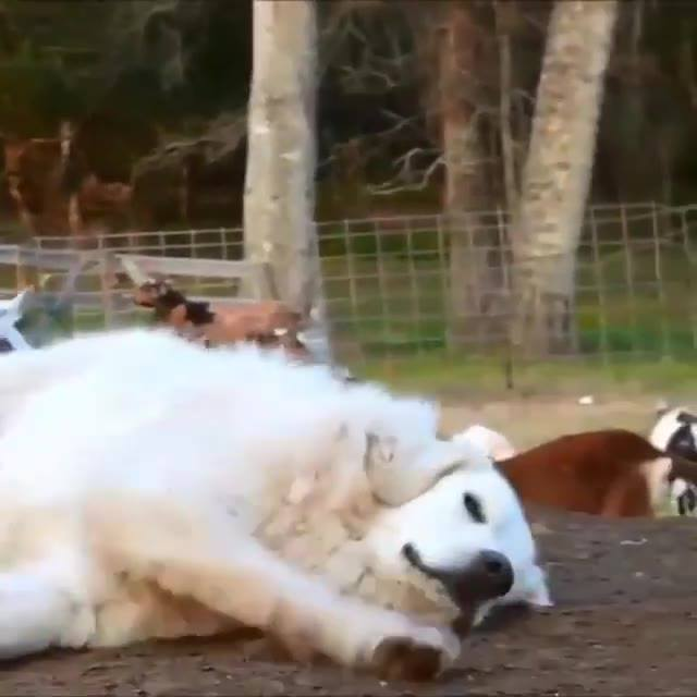 Cachorro Dormindo Em Serviço, As Cabritinhas Estão Fazendo A Festa Hahaha!