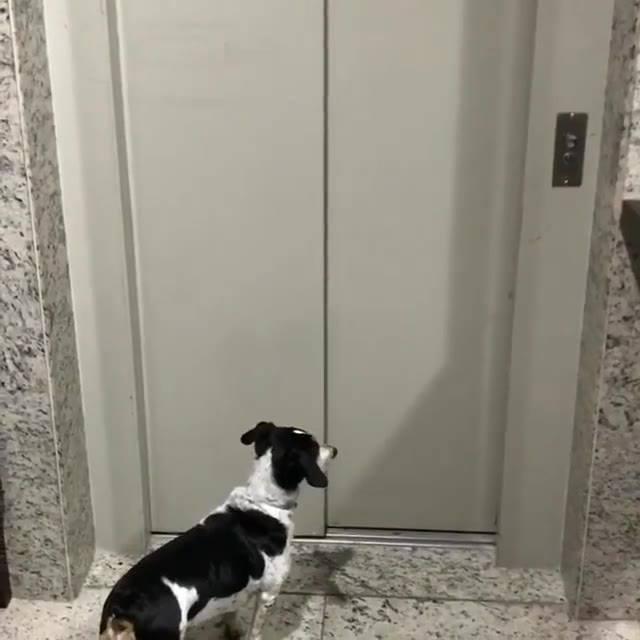 Cachorro Esperando O Elevador, Para Onde Será Que Ele Vai?