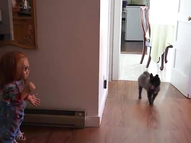Cachorro Com Medo Do Boneco Chucky, Quem Não Teria Medo Né Hahaha!